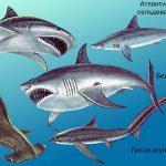Цікаве про акулу