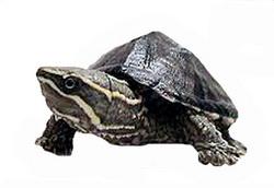 Мускусна черепаха, фото, найменша черепаха